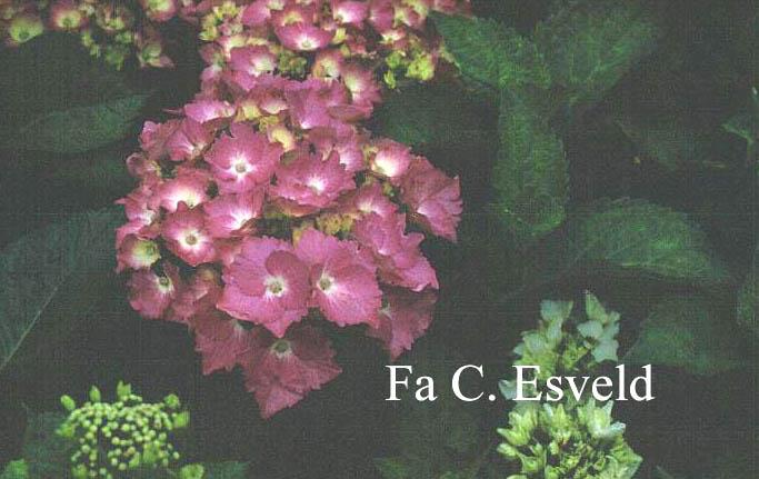 Hydrangea macrophylla 'Deutschland'