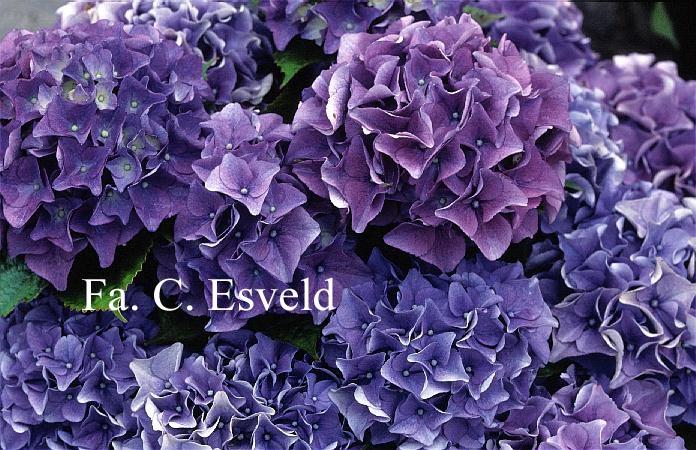 Hydrangea macrophylla 'Early Blue'