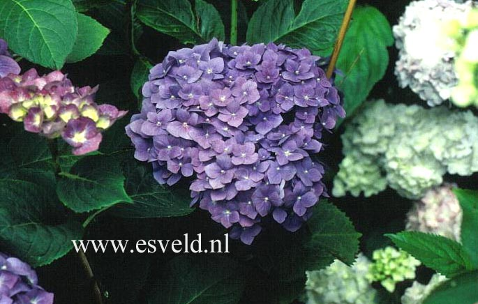 Hydrangea macrophylla 'Enziandom'