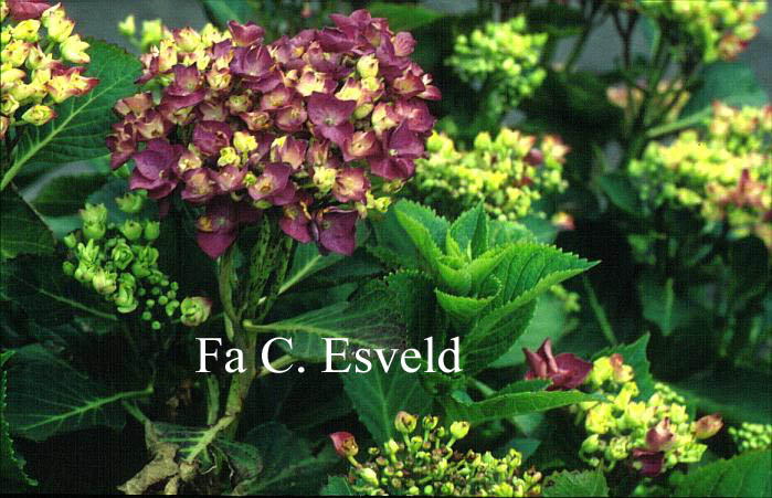 Hydrangea macrophylla 'Eugen Hahn'