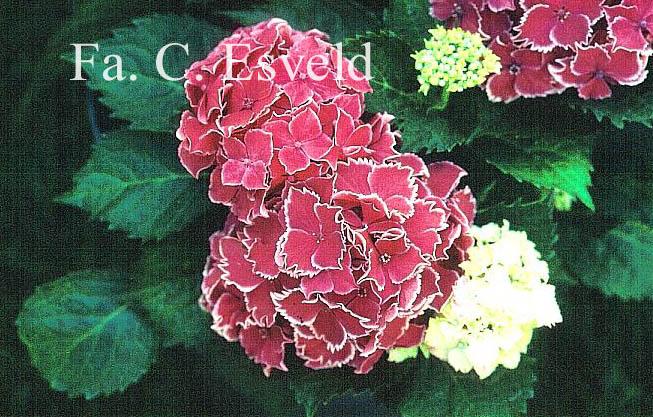 Hydrangea macrophylla 'Frau Yoshimi' (LADY YOSHIMI)