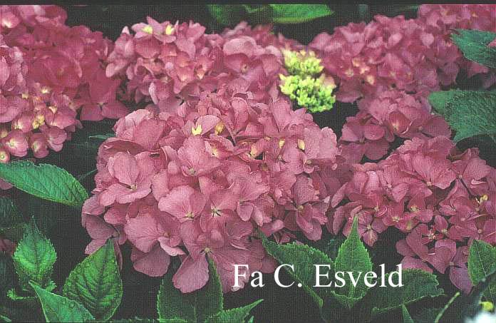 Hydrangea macrophylla 'Freudenstein'