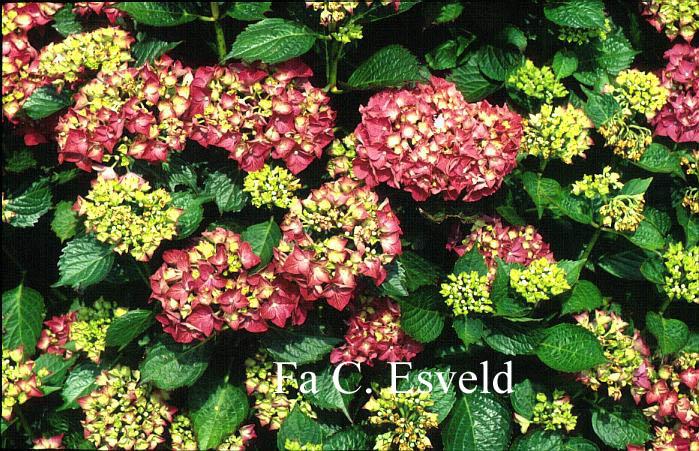 Hydrangea macrophylla 'Glowing Embers'