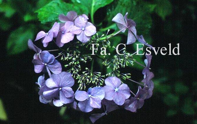 Hydrangea macrophylla 'Grasmücke'