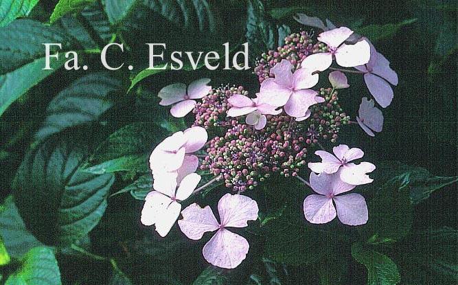 Hydrangea macrophylla 'Hatsu shime'