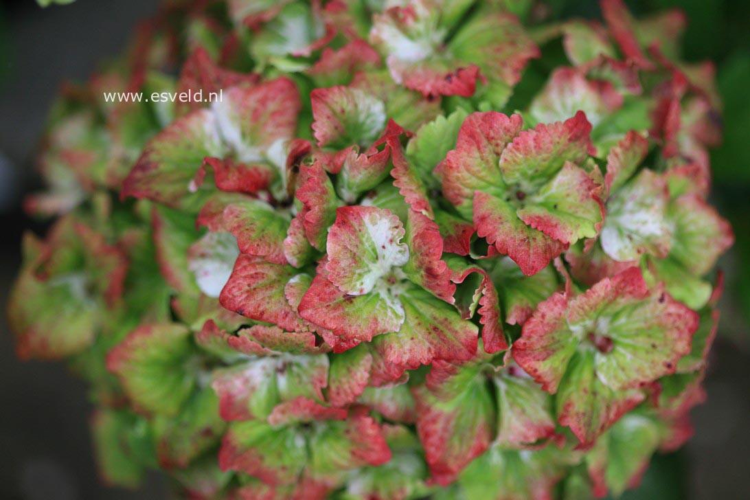 Hydrangea macrophylla 'Hokomasugre' (MAGICAL SUMMER GREEN)