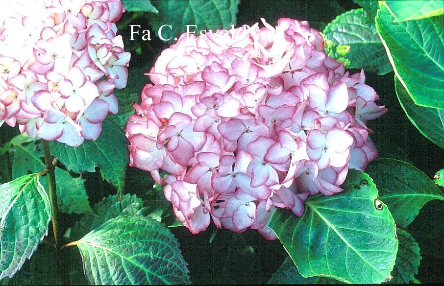 Hydrangea macrophylla 'Mirai'