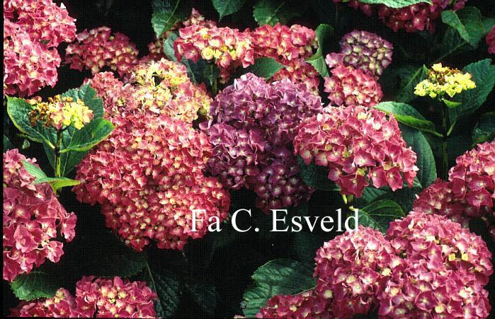 Hydrangea macrophylla 'Miss Belgium'