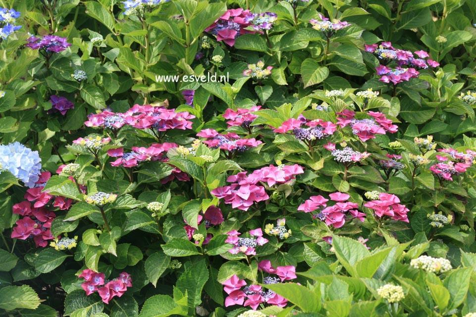 Hydrangea macrophylla 'Mme. E. Chanley'