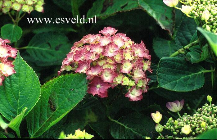 Hydrangea macrophylla 'Parzifal'