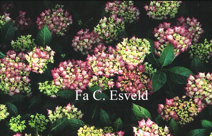 Hydrangea macrophylla 'Pfau'