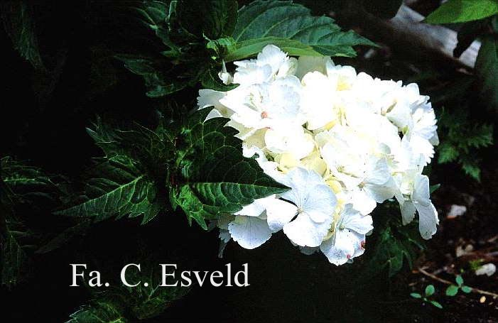 Hydrangea macrophylla 'Pirouette'