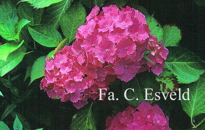Hydrangea macrophylla 'Queen Elizabeth'