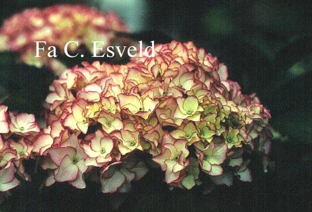 Hydrangea macrophylla 'Sabrina'