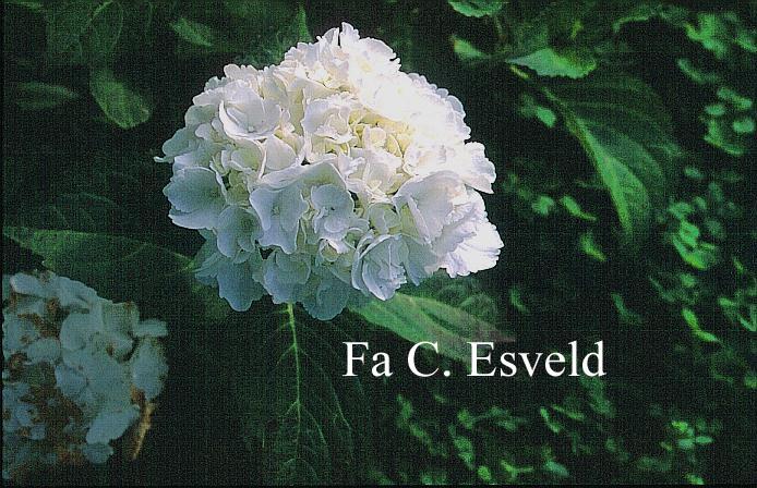 Hydrangea macrophylla 'Schneeball'