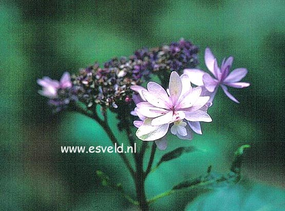 Hydrangea macrophylla 'Shamrock'