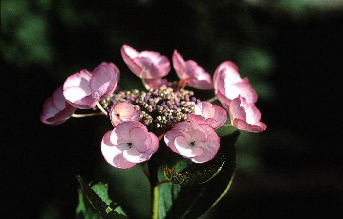 Hydrangea macrophylla 'Sheila'
