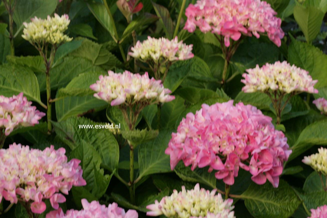 Hydrangea macrophylla 'Tegerfelden'