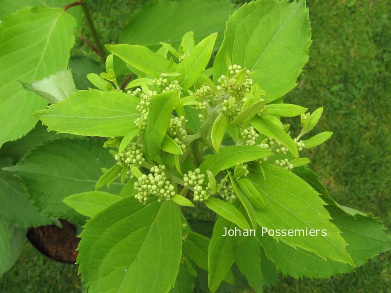Hydrangea paniculata 'Cov' (LEVANA)