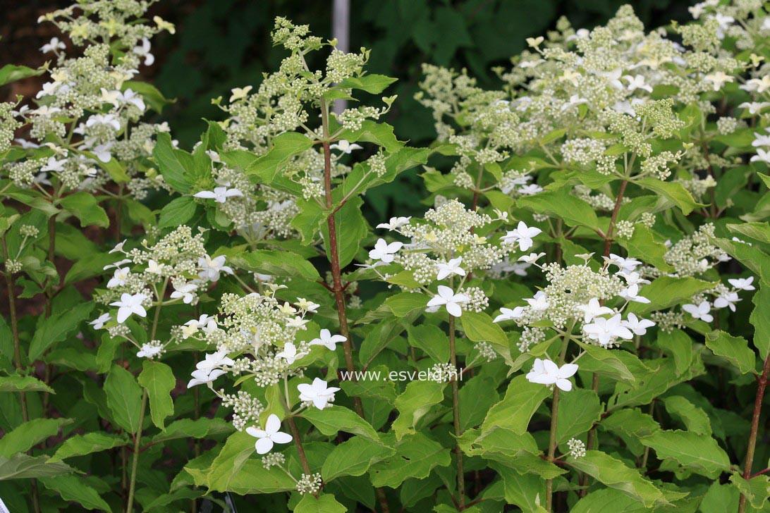Hydrangea paniculata 'Degustar' (STARLIGHT FANTASY)