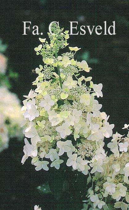 Hydrangea paniculata 'Evereste'
