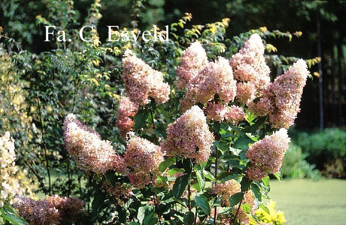 Hydrangea paniculata 'Megapearl'