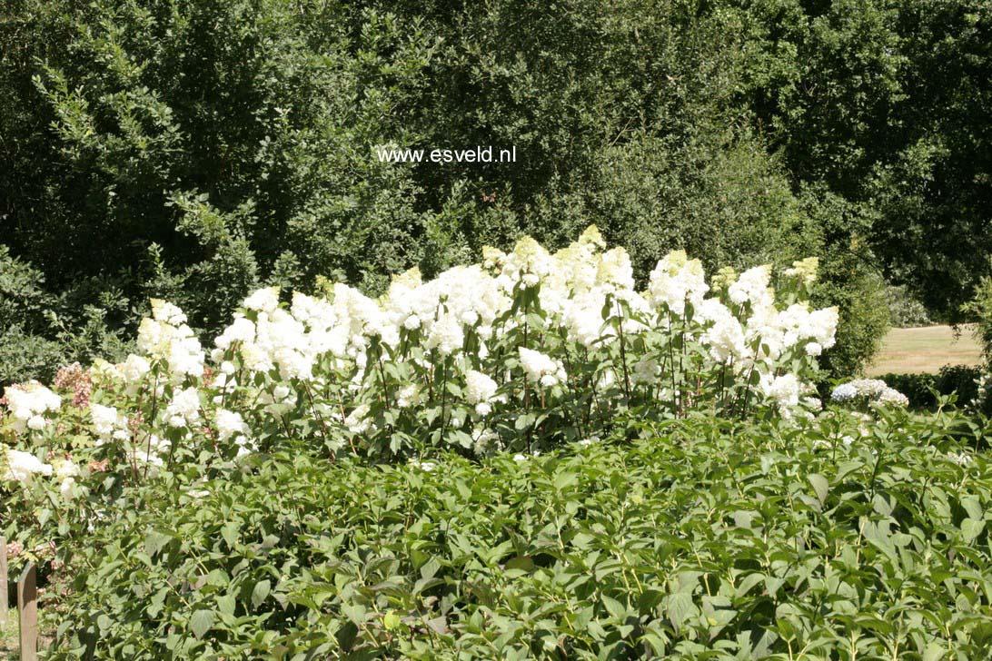 Hydrangea paniculata 'Renhy' (VANILLE FRAISE)