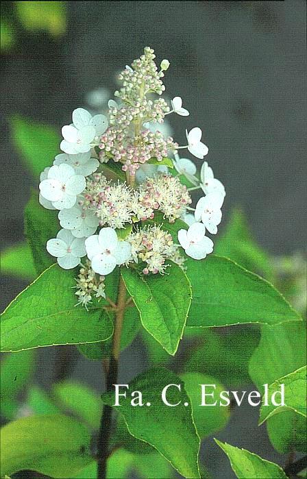 Hydrangea paniculata 'Tender Rose'