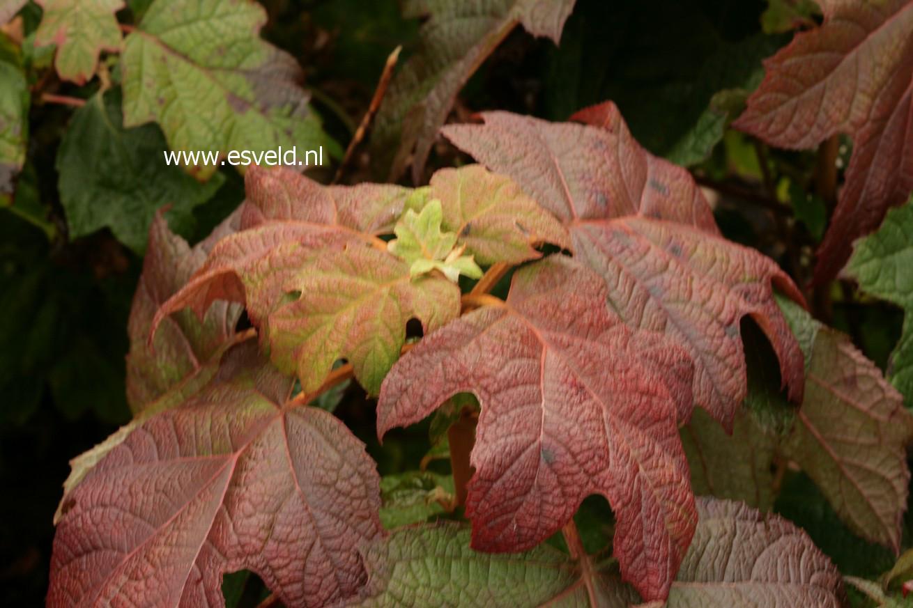 Hydrangea quercifolia 'Back Porch'