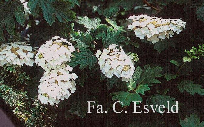 Hydrangea quercifolia 'Flemigea' (SNOWQUEEN)