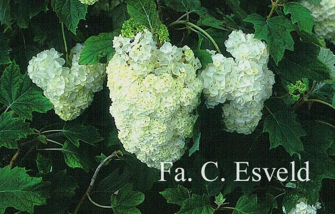 Hydrangea quercifolia 'Harmony'