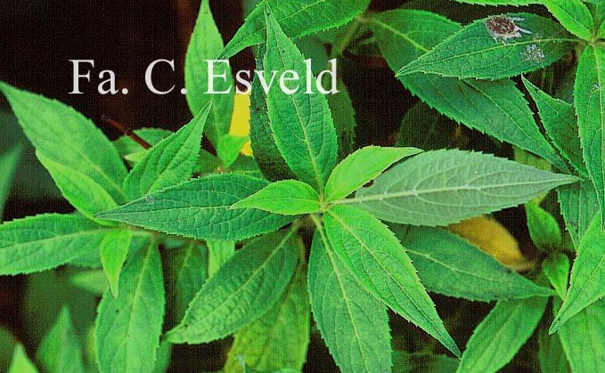 Hydrangea scandens angustisepala