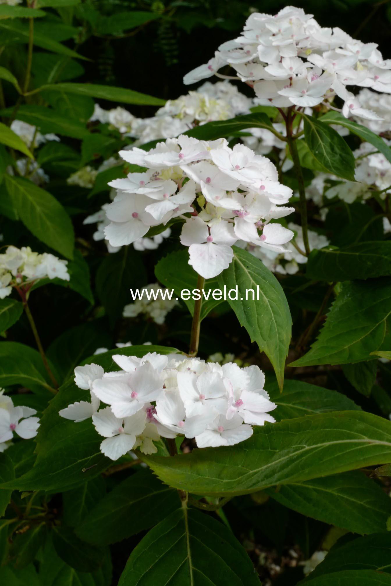 Hydrangea serrata 'Beni-temari'