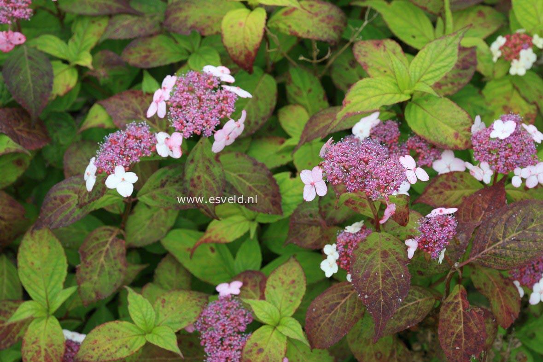 Hydrangea serrata 'Hondoji-aka'