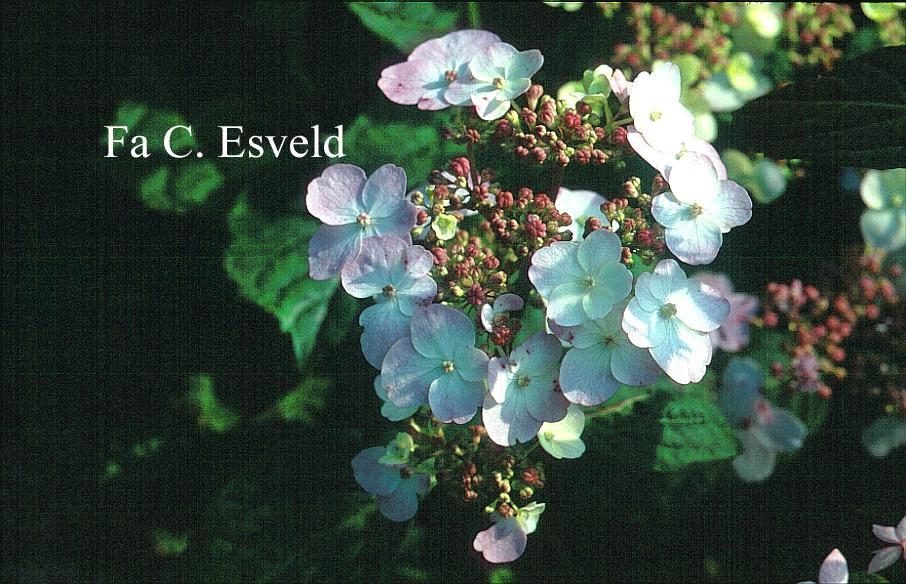 Hydrangea serrata 'Imperatrice Eugenie'