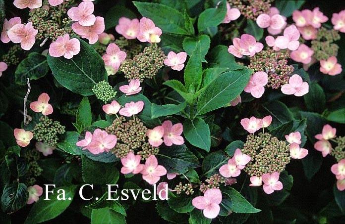 Hydrangea serrata 'Lace Delight'