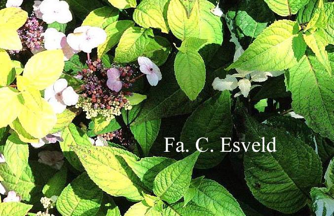 Hydrangea serrata 'Matsu-hime-nishiki'