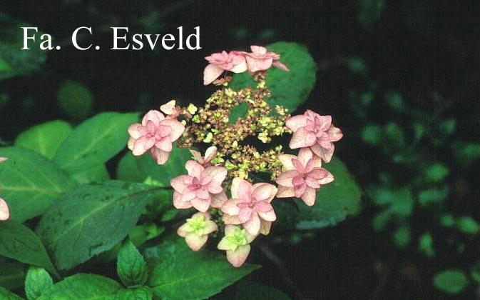 Hydrangea serrata 'Miyama-yae-murasaki'