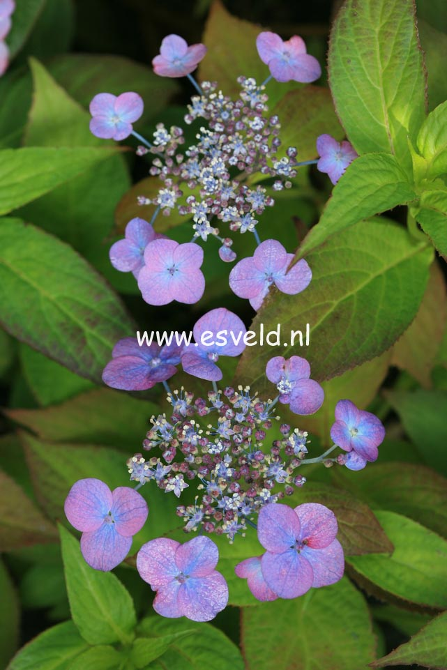 Hydrangea serrata 'O-niji'