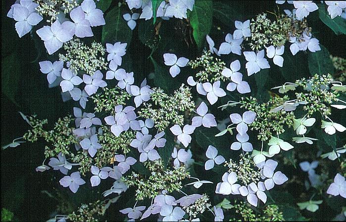 Hydrangea serrata 'Sapphirine'