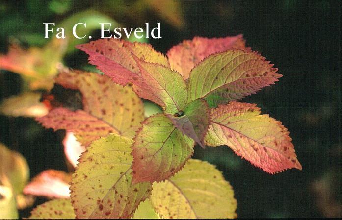 Hydrangea serrata yesoensis
