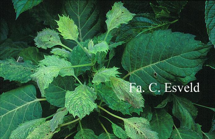 Hydrangea sikokiana