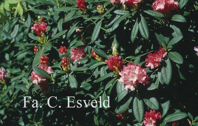 Rhododendron 'Anilin'