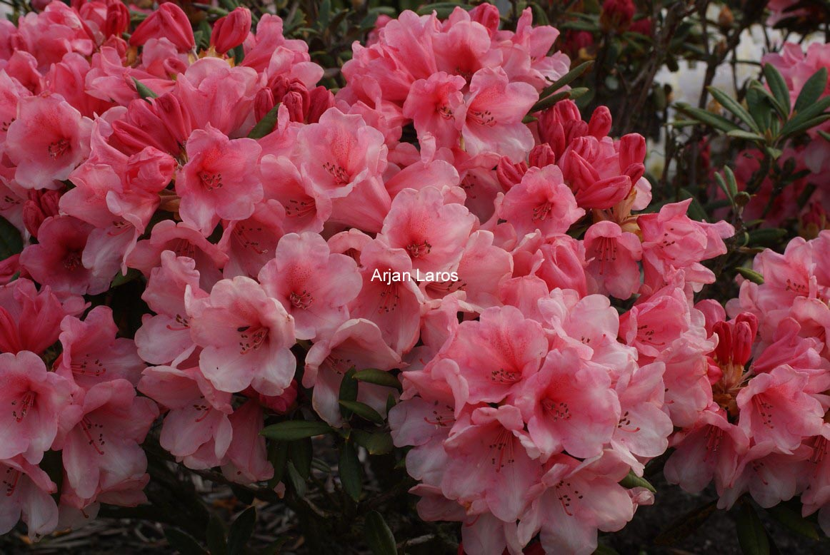 Rhododendron 'Cup Cake'