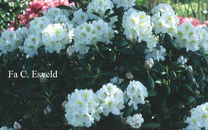 Rhododendron 'Porzellan'