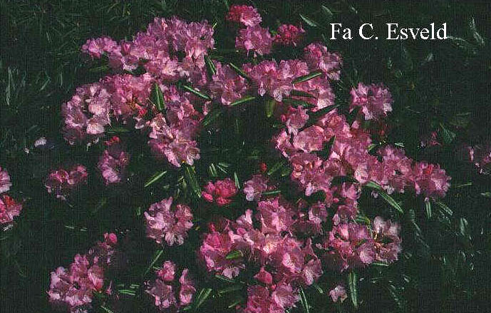 Rhododendron degronianum hondoense
