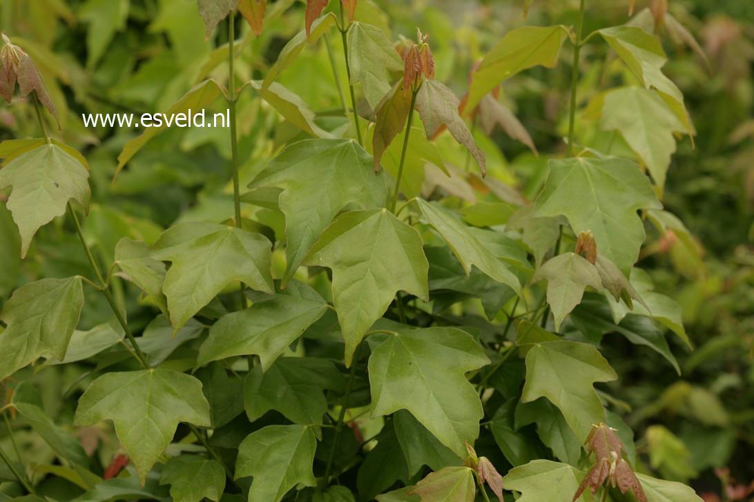 Acer buergerianum 'Spring Festival'