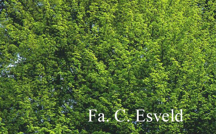 Acer campestre 'Postelense'