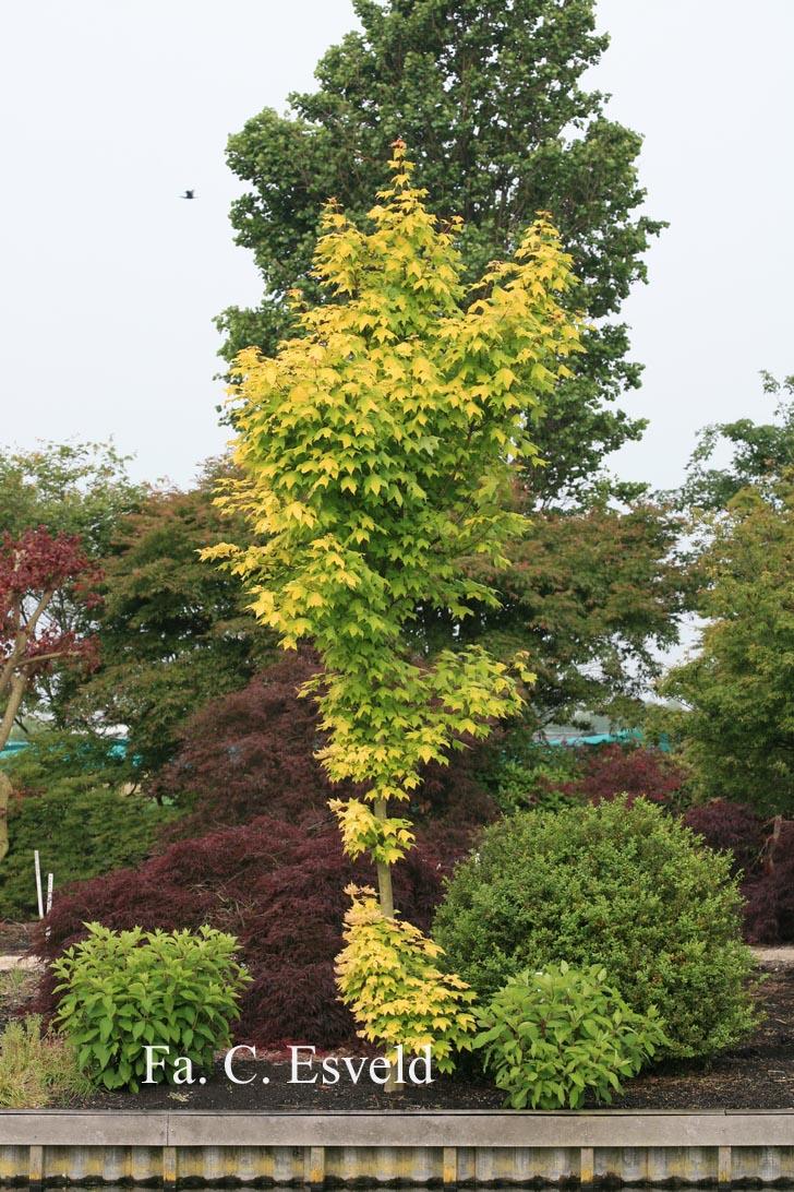 Acer cappadocicum 'De Oirsprong'