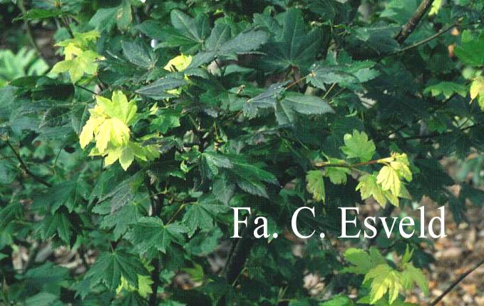 Acer circinatum 'Glen-Del'